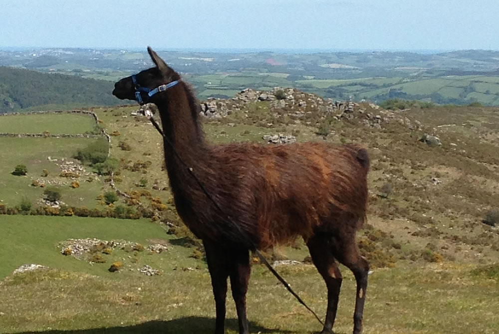 Llama Walks On Dartmoor In Devon Alpaca Amp Llama Trekking