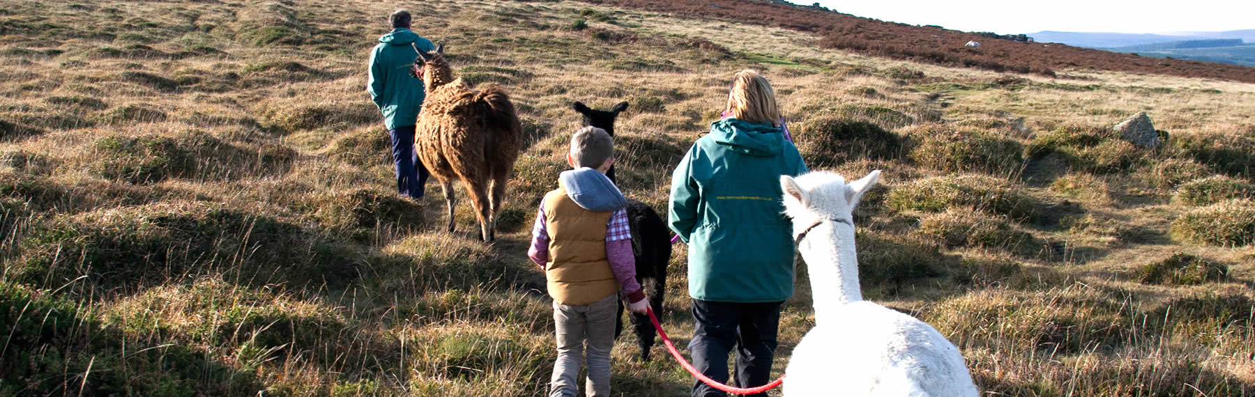 Family Llama Walks on Dartmoor Devon
