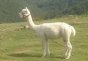 Logon The Alpaca