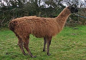 Merlin The Llama