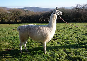 Polo The Llama