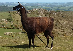 Blackjack The Llama