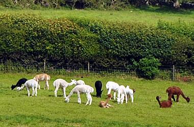 Holidays on Our Alpaca & Llama Farm