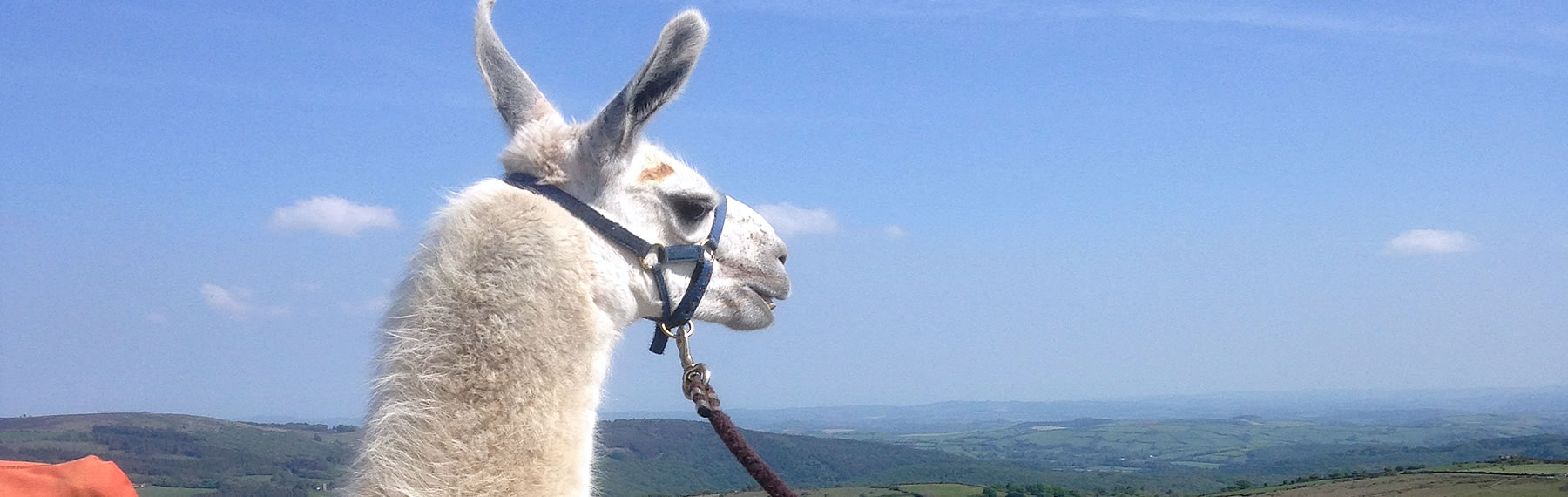 Llama Taking in Dartmoor View
