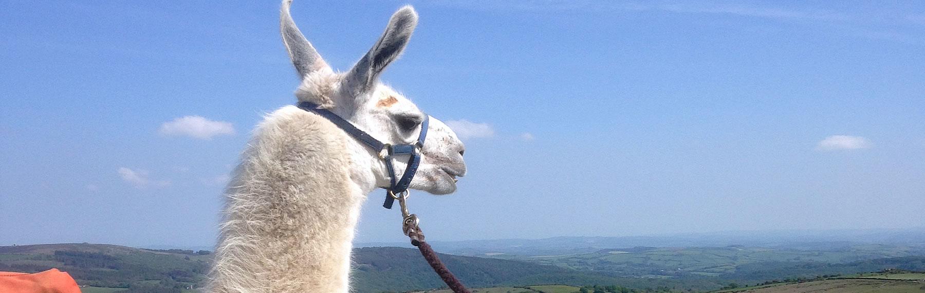Llama Taking in Dartmoor View