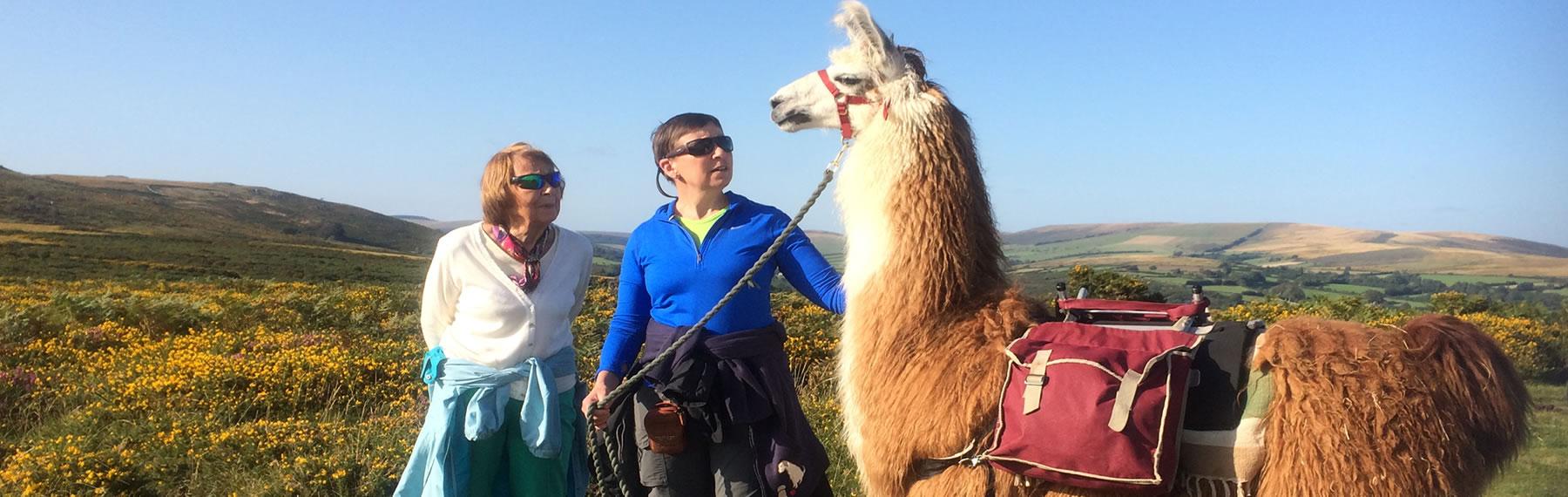 Llama Trekking Dartmoor