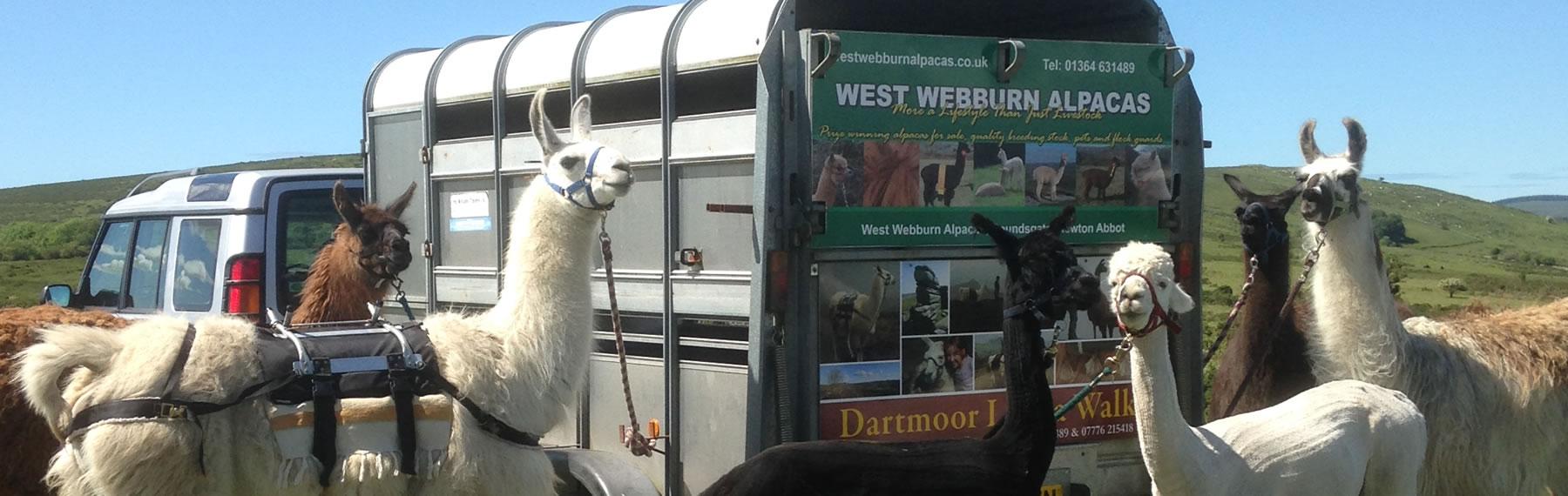 Newcott Farm Llama Walks on Dartmoor