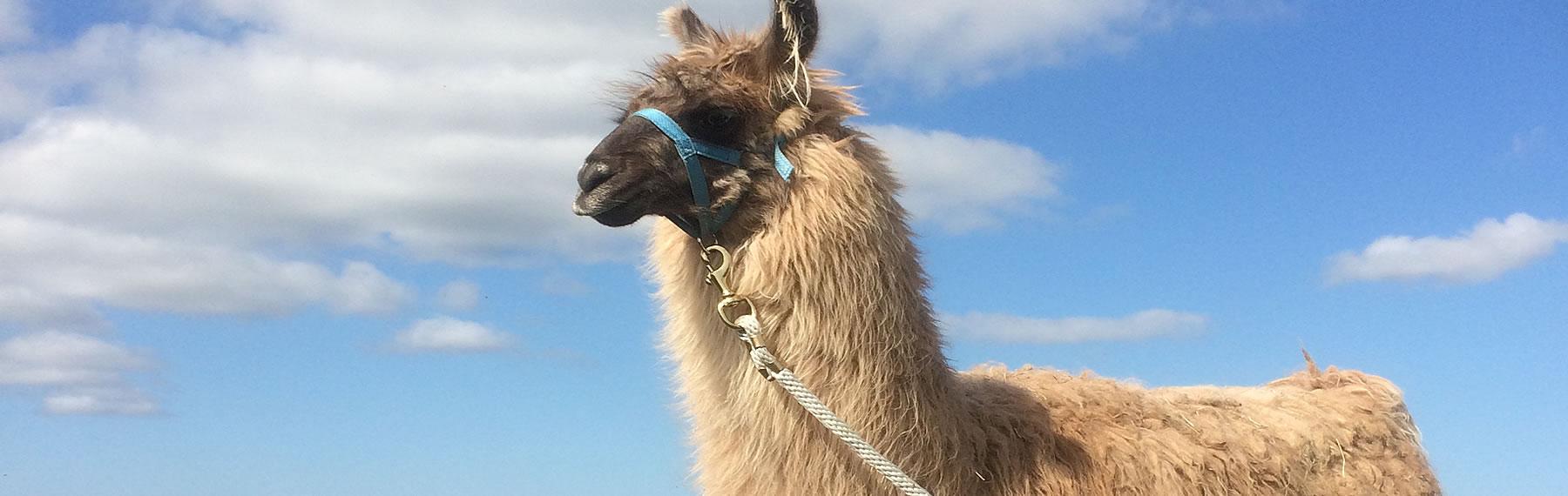 Newcott Farm Llama