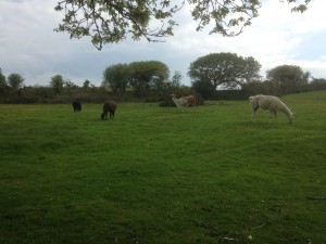 All grazing in Summer field