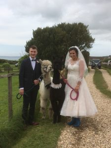 Llamas at wedding