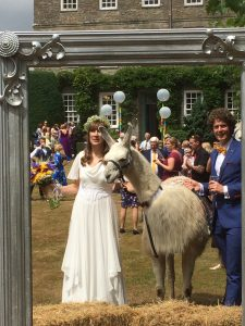 Llamas at Weddings